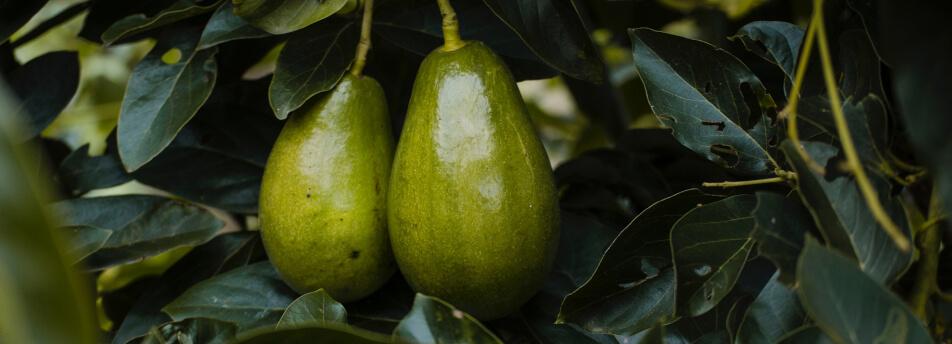 Avocados: Superfood & Nachhaltigkeit