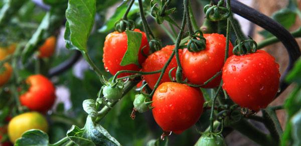 Tomatenstaude