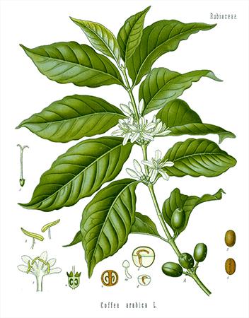Kaffe-Pflanze
