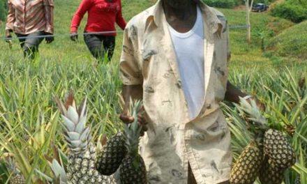 UrAnanas oder wie Ananas wirklich schmecken kann