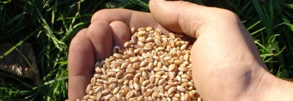 Bayrischer Reis und Urdinkel von Chiemgaukorn