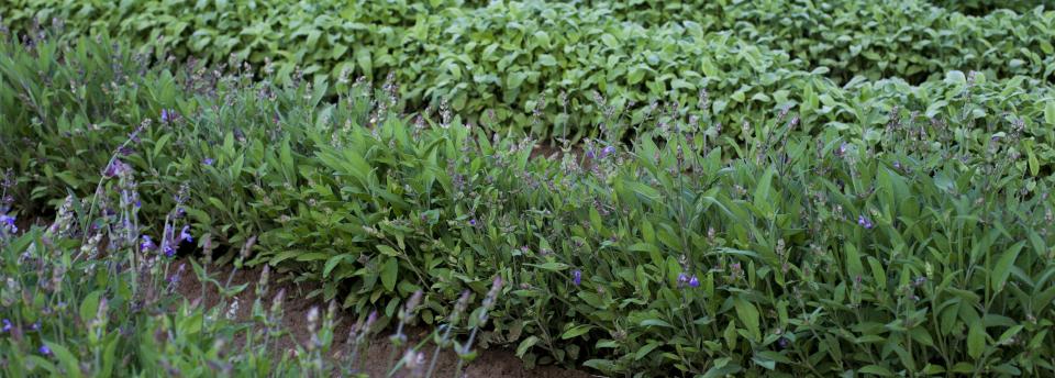 Organische Tees aus der Toskana von Leopardo