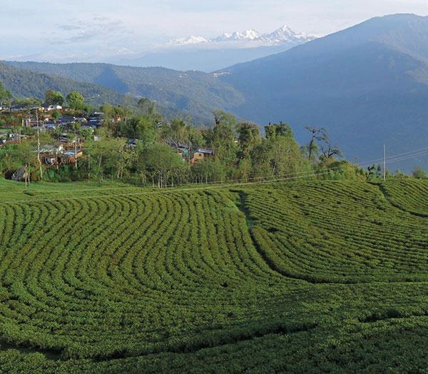 Bio-Temi-Tee aus Sikkim von Teevent
